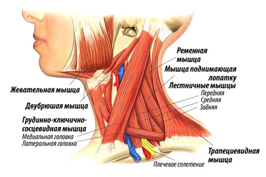Анатомические особенности шеи